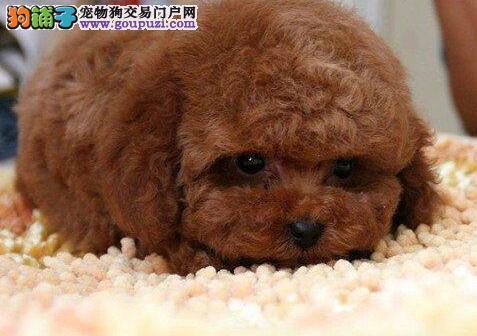 顶级优秀犬舍直销出售极品韩系泰迪犬 可来哈尔滨购买