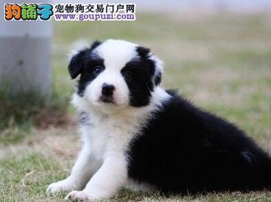 出售南京极品边境牧羊犬幼犬 签健康协议包养活