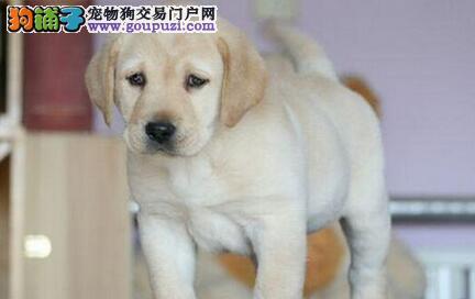 南京专业的拉布拉多犬舍终身保健康签订终身纯种健康协议