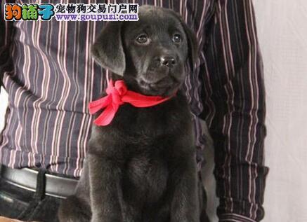 优质拉布拉多猎犬 认证犬舍所有狗狗带芯片兰州出售