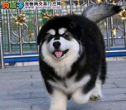 楚雄州自家繁殖的纯种阿拉斯加犬找主人品质优良诚信为本