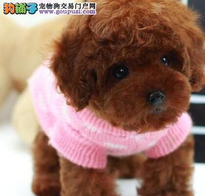 宁波纯种韩系泰迪犬茶杯犬玩具犬萌到极致签订保证协议