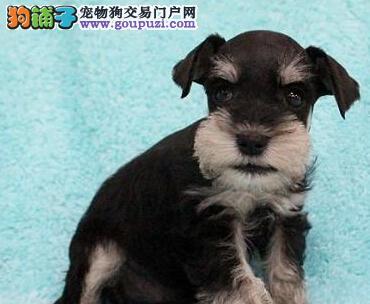 犬舍迷你标准黑色 灰色雪纳瑞直销 包养活送用品签协议