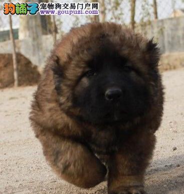 直销哈尔滨高加索犬 血统优秀保健康可办理证书和芯片