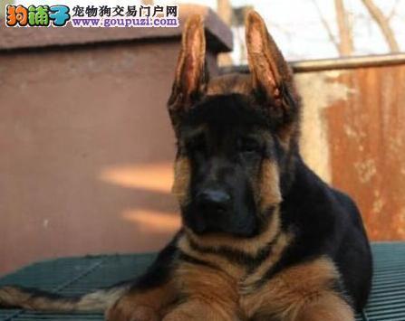阳江出售极品锤系德国牧羊犬品质一流狗场专业繁殖黑背