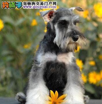 上海精品雪纳瑞 狗狗汪星人萌宠小老头白胡子 椒盐黑银