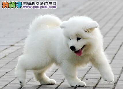 狗场促销成都萨摩耶犬 纯种健康洁白如雪