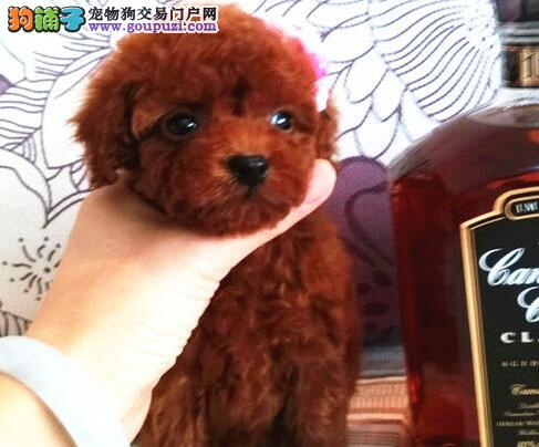 专业基地繁殖/超可爱保健康/泰迪幼犬出售!