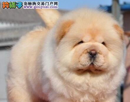 广州犬舍出售高品质松狮幼犬 均可办理血统证书和芯片