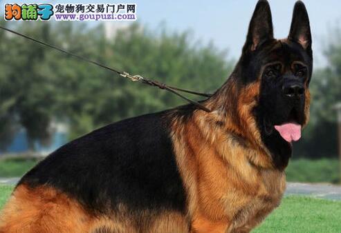 纯种德国牧羊犬多少钱一只黑背幼犬品质极佳终生质保