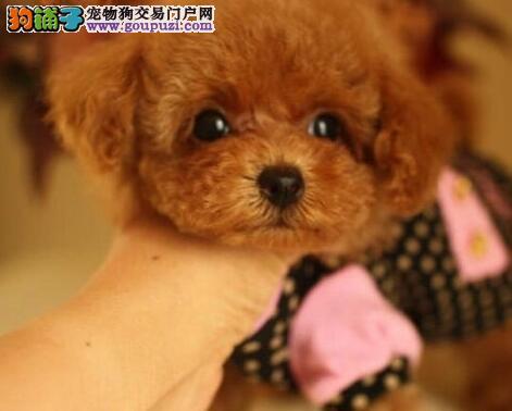 超小体型迷你可爱的东莞泰迪犬找爸爸妈妈 速来选购吧