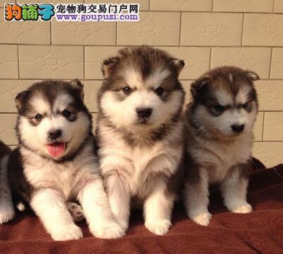 CKU认证犬舍 专业出售极品 阿拉斯加犬幼犬当日付款包邮