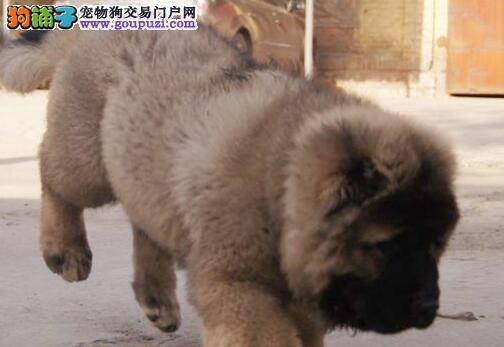 狼青色品相完美的广州高加索犬低价出售 绝对品质优秀