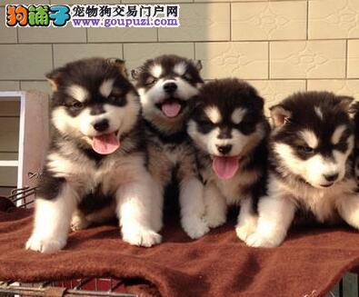 阿拉斯加犬该吃什么狗粮比较好
