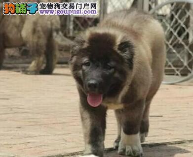 养犬基地出售多只纯种合肥高加索犬 欢迎上门挑选选购