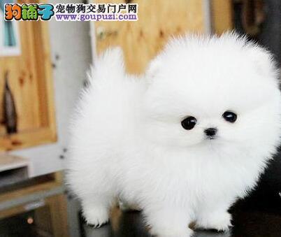 南京自家养殖俊介犬保健康 女神萌宠哈多利博美犬幼犬2