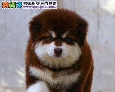 重庆哪里出售阿拉斯加幼犬/阿拉斯加多少钱一只1
