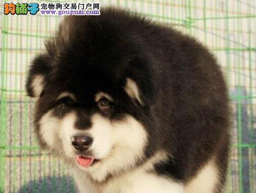 成都特价出售帅气的阿拉斯加宠物狗狗健康纯种多只可选