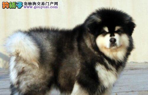 正规基地热卖高品质长沙阿拉斯加雪橇犬签合同