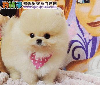 上海纯种精品 哈多利球体博美犬 终身质保签订活体协议
