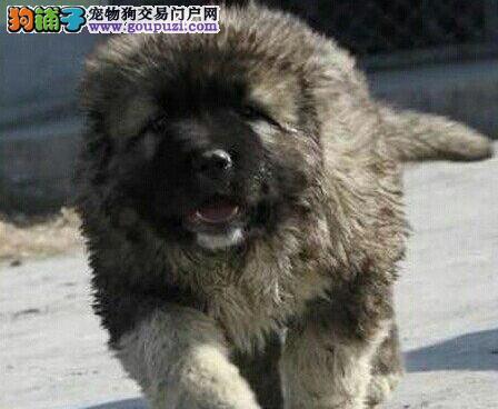 上海高加索犬/俄罗斯高加索/巴斯马奇血系高加索