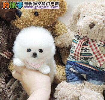 北京专业繁殖纯种博美犬 可送货上门 签协议保健康