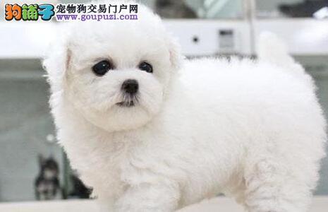 渭南市精美小体比熊犬有售电话联系可送上门挑选品相好