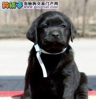 神犬小七郑州拉布拉多驾到 A级品质 冠军传承 专业繁殖