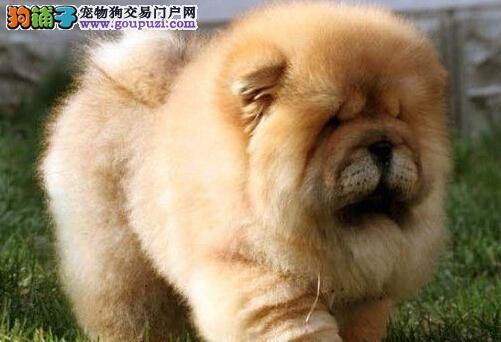 健康憨厚的松狮宝宝郑州多色可选 本市可免费送货上门