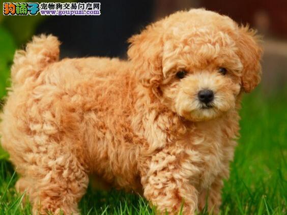 热销韩国血统的泰迪犬 建议来合肥上门购买可签协议2