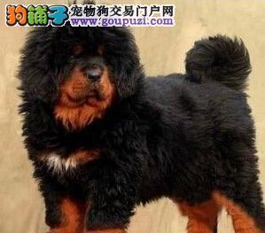 高大尚的藏獒幼犬郑州热卖 骨量健壮霸气十足毛量丰厚