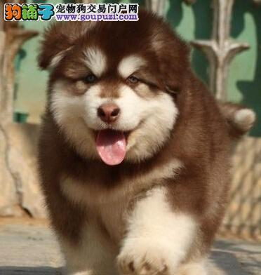健康品质实力保障重庆售纯血统阿拉斯加雪橇犬价格合理
