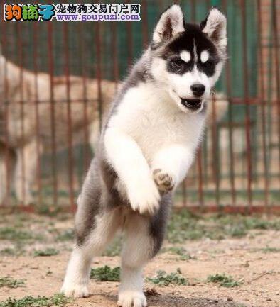 杭州本地狗场出售优秀哈士奇 赛级品质保证身体健康