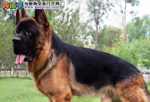出售黑背完美体态的南昌德国牧羊犬 请大家放心选购