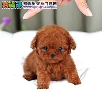 正规繁殖基地热销福州贵宾犬 可提供血统证书和芯片