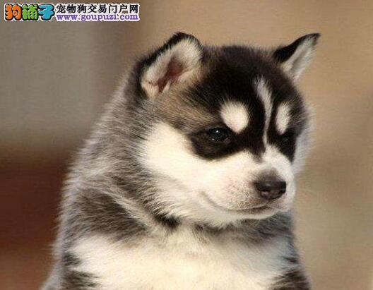 杭州出售哈士奇雪橇犬高品质血统纯签售后质保协议