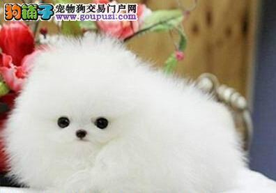 北京出售哈多利高端博美犬 可爱迷你俊介犬聪明伶俐2