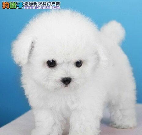 正规狗场犬舍直销泰迪犬幼犬品质保障可全国送货3