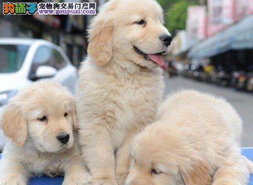 纯种赛级金毛 可看狗狗父母照片 微信咨询看狗
