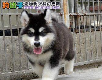 强力推荐纯种阿拉斯加幼犬、超帅气,超大形体!