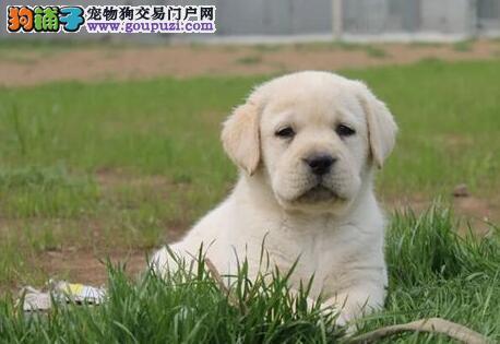 大型狗场热销纯种临沂拉布拉多犬 专业繁殖保证健康