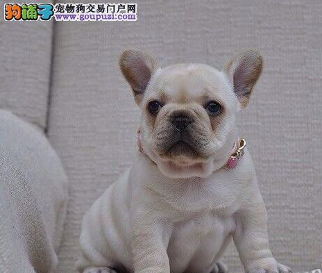 纯种法国斗牛犬幼犬出售 血统纯正 包犬瘟细小 可见狗父母