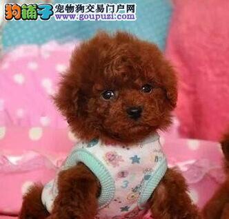 武汉热卖泰迪犬多只挑选视频看狗品质优良诚信为本2