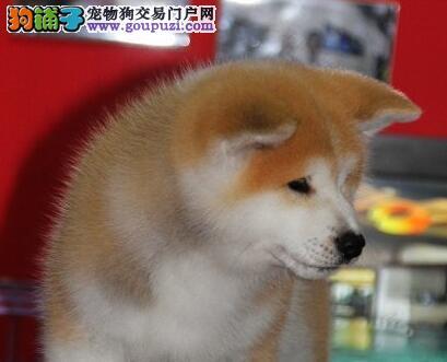 上海家养的秋田犬狗狗出售品相好家养活泼很忠诚的八公2