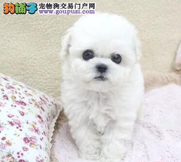 直销价转让高品质卷毛比熊犬 广州地区有专业实体店