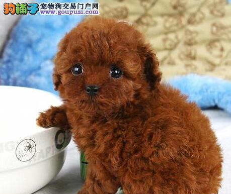 家养纯种红色泰迪/贵宾宝宝出售(可上门看狗)