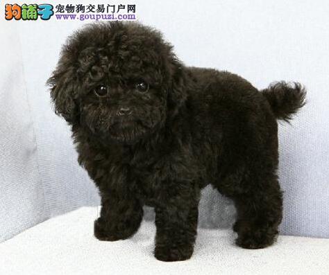 沈阳正规犬舍热销顶级优秀纯种泰迪犬品种齐全保品质4