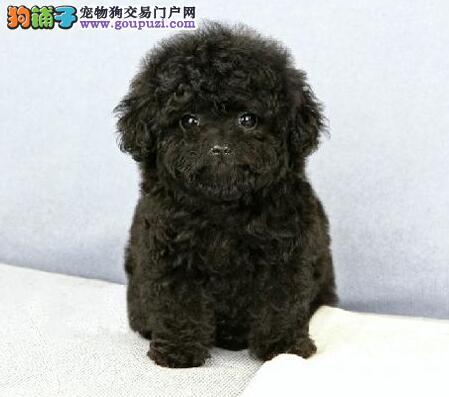 沈阳正规犬舍热销顶级优秀纯种泰迪犬品种齐全保品质2