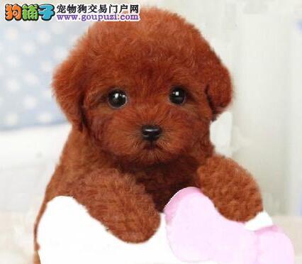沈阳正规犬舍热销顶级优秀纯种泰迪犬品种齐全保品质3