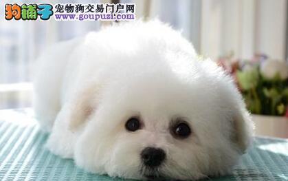 南京自家犬舍转让卷毛比熊犬 乖巧可爱喜欢的可上门